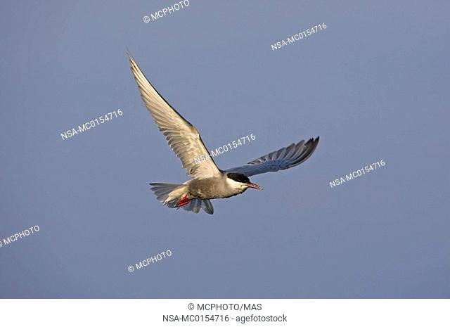 Whiskered Tern Chlidonias hybridus