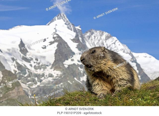 Alpine marmot (Marmota marmota) calling in front of the snow covered mountain Grossglockner, Hohe Tauern National Park, Carinthia, Austria