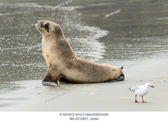 New Zealand sea lion (Phocarctos hookeri), Sandfly Bay, Dunedin, Otago Region, Otago Peninsula, Southland, New Zealand