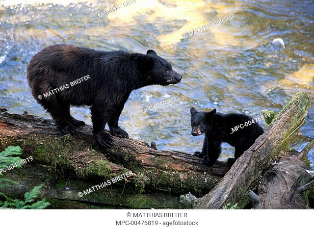 Black Bear (Ursus americanus) mother with cub along Anan Creek, Tongass National Forest, Alaska