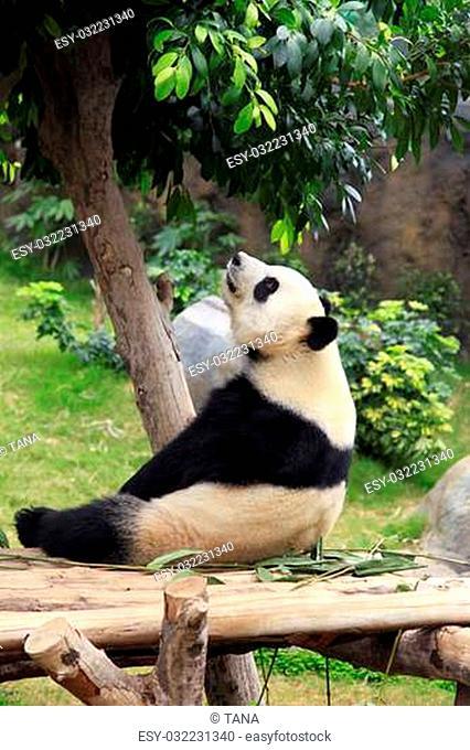 Grand panda bear in zoo Hong Kong