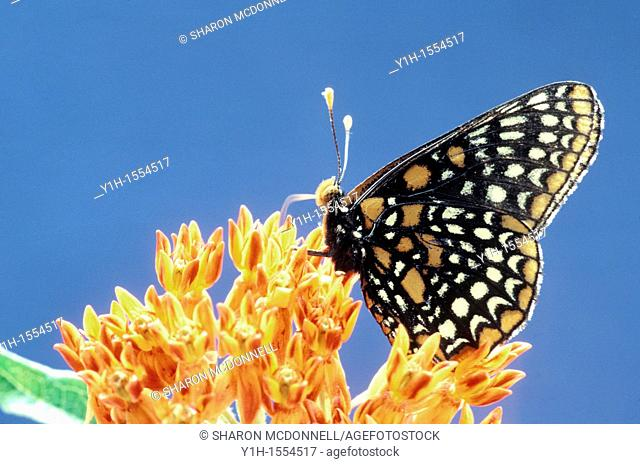 Eat local, eat fresh: Baltimore Checkerspot Butterfly, Euphydryas phaeton, drinking nectar from butterfly weed through probiscis like a straw