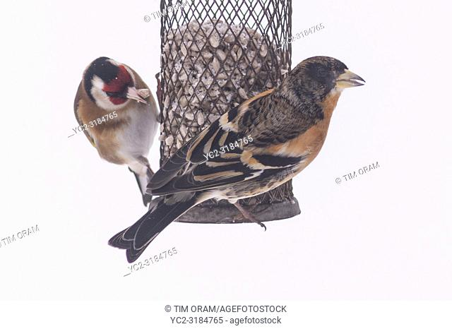 A Brambling and a Goldfich feeding in a Uk garden in winter