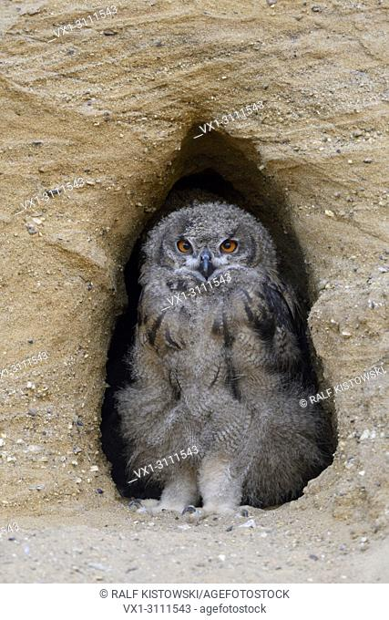 Eurasian Eagle Owls / Europaeische Uhus ( Bubo bubo ), moulting chick, standing in the entrance of its nest burrow, watching, cute, wildlife, Europe