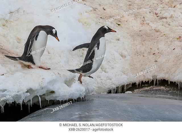 Gentoo penguins, Pygoscelis papua, returning to the sea to feed at Dorian Bay, Antarctica