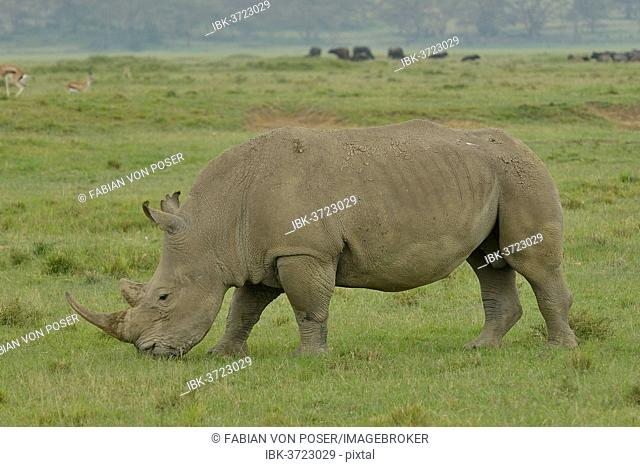 White Rhinoceros or Square-lipped Rhinoceros (Ceratotherium simum), Lake Nakuru National Park, near Nakuru, Rift Valley Province, Kenya