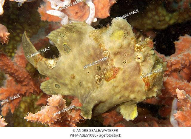 Painted Frogfish, perched on red Sponge, Antennarius pictus, Dumaguete, Negros, Visayan Sea, Philippines