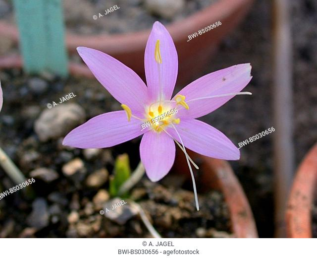 Colchicum (Colchicum boissieri), flower, distribution: Greece