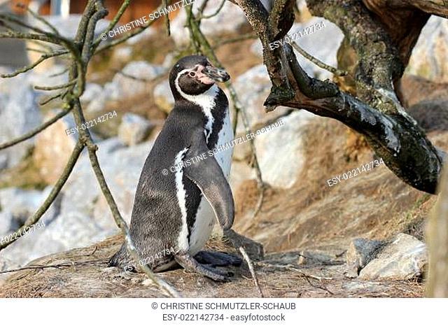 Humboldtpinguin im Tierpark Sababurg