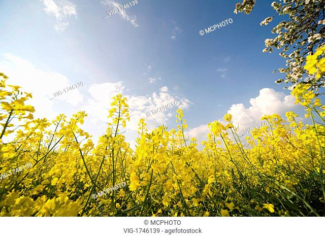 yellow colza at springtime - 15/05/2006