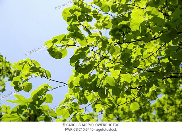 Linden or Lime tree, Tilia x europaea which has just finished flowering. Bright green leaves in sunlight against blue sky