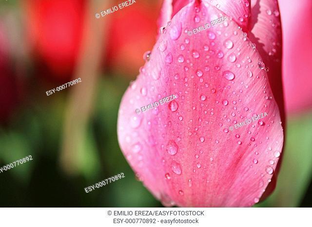 Raindrops on tulip Tulipa hybr