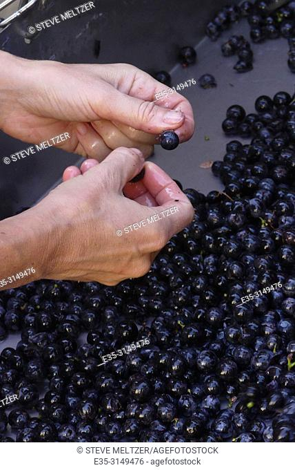 At a boutique winery in the Herault of France a worker takes the stems off harvested merlot grapes by hand
