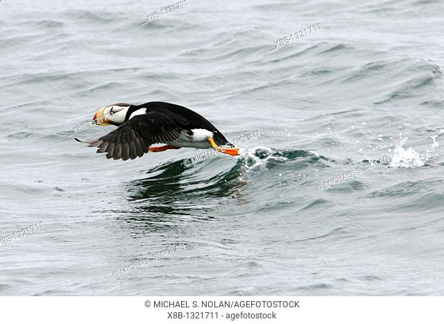 Adult Horned Puffin Fratercula corniculata near South Marble Island in Glacier Bay National Park, Southeast Alaska, USA  Pacific Ocean