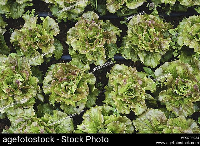 High angle close up of green lettuce
