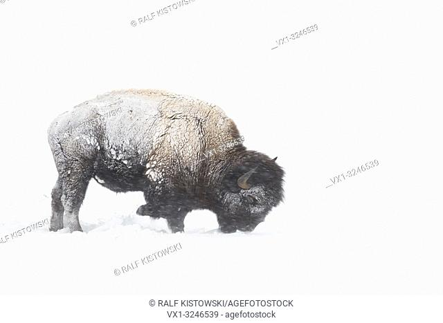 American bison / Amerikanischer Bison ( Bison bison ) during blizzard, rolling snow, pawing the ground, searching for food, Yellowstone NP, Wyoming,USA