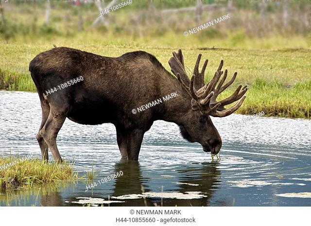 10855660, Moose, Alces alces, USA, North America