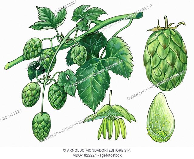 Hop ((Humulus lupulus), by Giglioli E., 20th Century, ink and watercolour on paper. Whole artwork view. Drawing of leaves, fruits and flowers