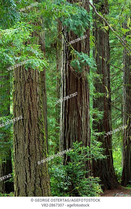 Coast redwood (Sequoia sempervirens) forest, Jedediah Smith Redwoods State Park, Redwood National Park, California