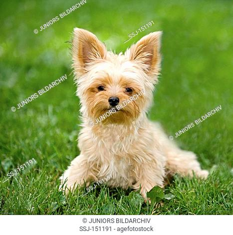 young Yorkshire Terrier dog - sitting on meadow restrictions: animal guidebooks, calendars