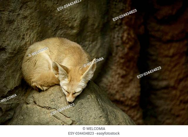 Sleeping Fennec Fox. Fennec Fox Sleeping on the Rock - Horizontal Photography. Fennec Fox is a Small Nocturnal Fox Found in the Sahara of North Africa