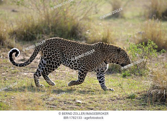 Leopard (Panthera pardus), male, Masai Mara National Reserve, Kenya, Africa
