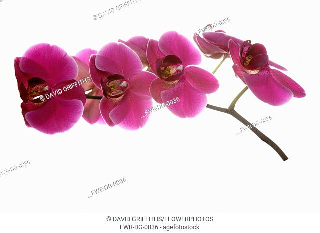 Orchid, Moth orchid, Phalaenopsis, Studio shot of several pink open flower heads on horizontal stem