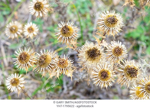 Carline Thistle , Carlina vulgaris, growing on coatal dunes,showing the ripe seedheads , Norfolk, England September