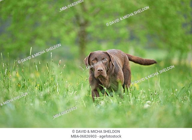 Labrador retrievers, chocolate brown, meadow, frontal, stand, looking into camera