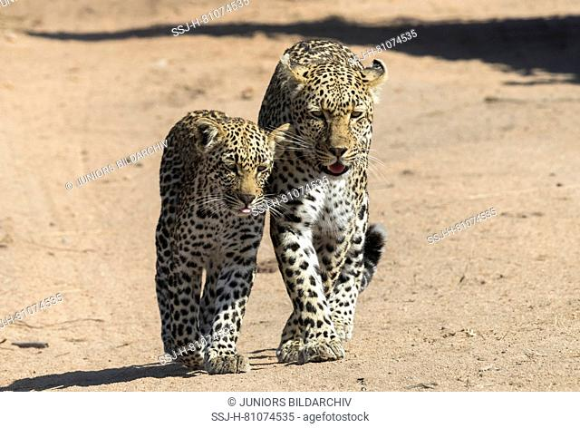 African Leopard (Panthera pardus). Mother and cub walking next to each other on a dust road. Mala Mala Game Reverve, South Africa