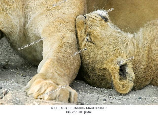 Lions (Panthera leo) with a cup, Savuti, Chobe National Park, Botswana, Africa