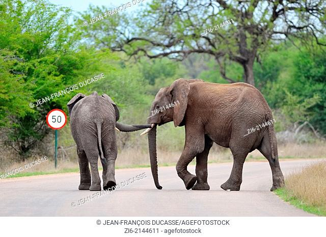 African elephants (Loxodonta africana), calves, crossing the road, Kruger National Park, South Africa, Africa
