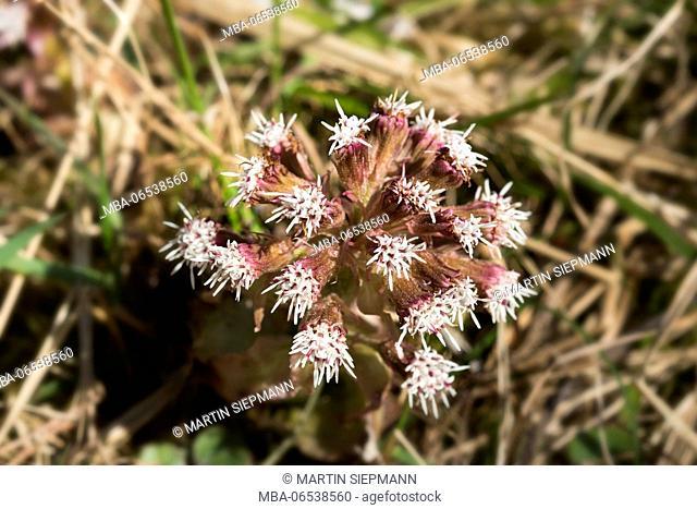 Blossom, common butterbur (Petasites hybridus), Upper Bavaria, Bavaria, Germany
