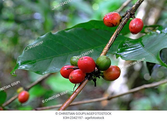 fruits, called 'cherries' or drupes, of Coffea tree, ''Habitation La Griveliere'', former coffee and cocoa plantation, nowadays an ecomuseum, Vieux-Habitants
