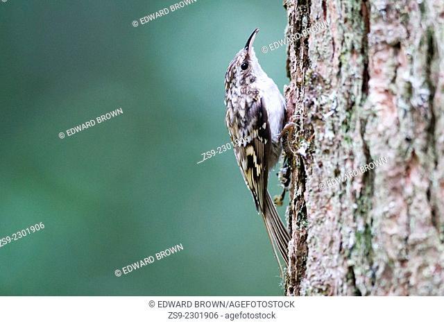 Treecreeper (Certhia familiaris) Scotland, UK
