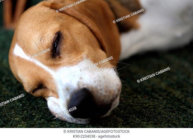 Head shot of tricolor Beagle sleeping on the carpet, Berlin, Germany, Europe