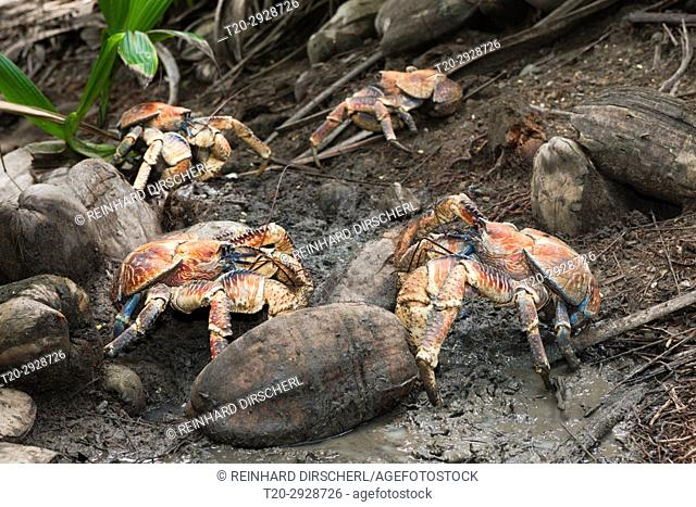Group of Robber Crab, Birgus latro, Christmas Island, Australia