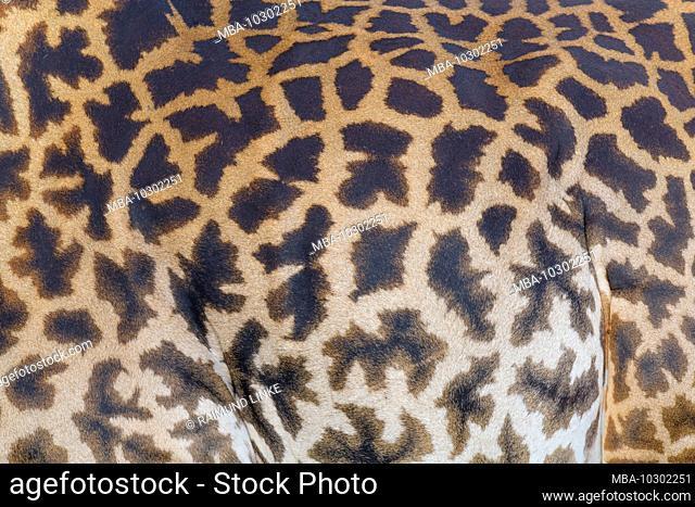 Masai Giraffe, Giraffa camelopardalis, detail, Masai Mara National Reserve, Kenya, Africa