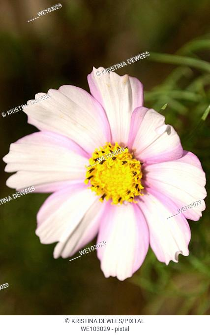 A white Cosmo blossom with light pink stripes along each petal