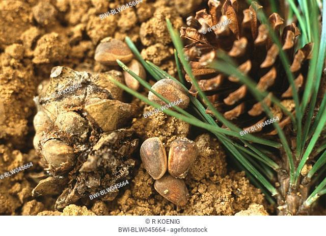 Swiss stone pine, arolla pine Pinus cembra, detail of the seeds