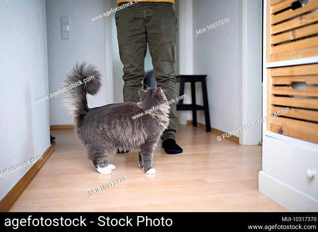 cute blue tabby white maine coon cat begging for food standing in front of pet owner looking up indoors
