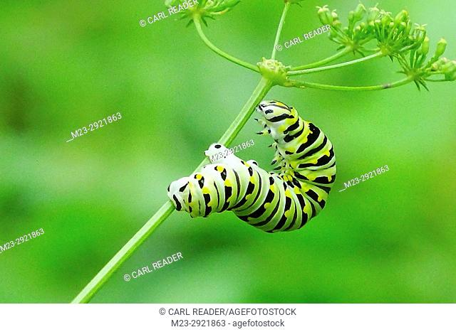 A monarch butterfly caterpillar, danaus plexippus, makes its way up a stalk of parsley, Pennsylvania, USA