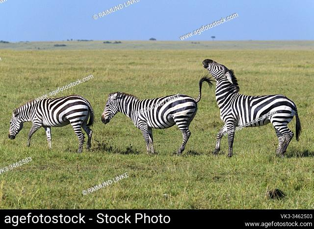 Zebra, Equus quagga, three animal in a row, Masai Mara National Reserve, Kenya, Africa