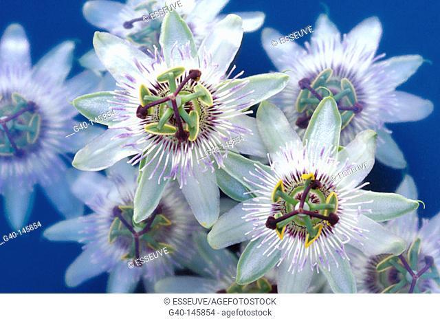 Passion-flowers (Passiflora coerulea)