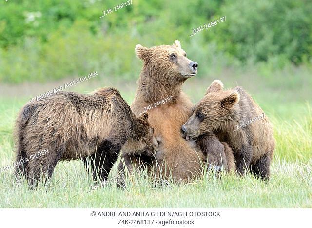 Grizzly Bear ( Urus arctos horribilis) lactating at their mother, Katmai national park, Alaska, USA