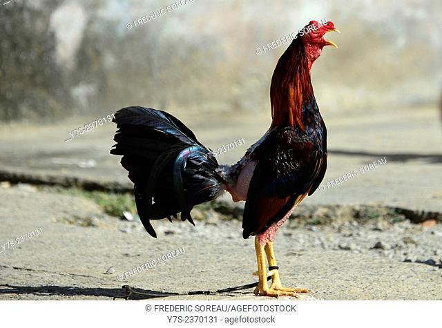Cute chicken in Baracoa, Cuba