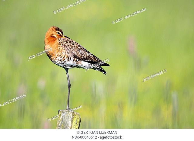 Black-tailed Godwit (Limosa limosa) perched on a pole of a fence, The Netherlands, Overijssel