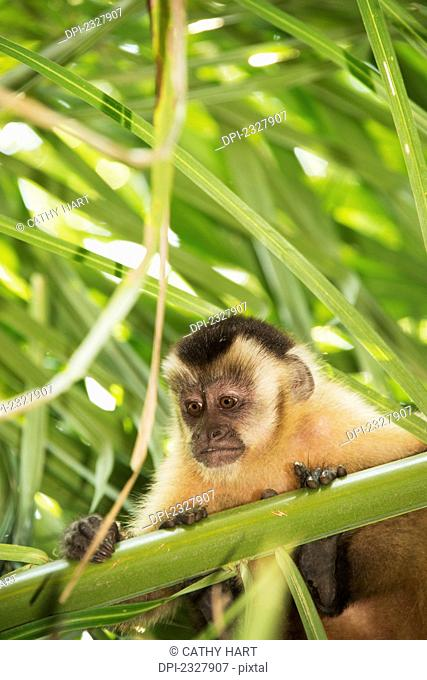 Capuchin monkey sits in a tree looking over the branches;Pantanal brazil