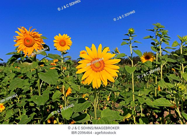 Sunflower (Helianthus annuus), Germany, Europe