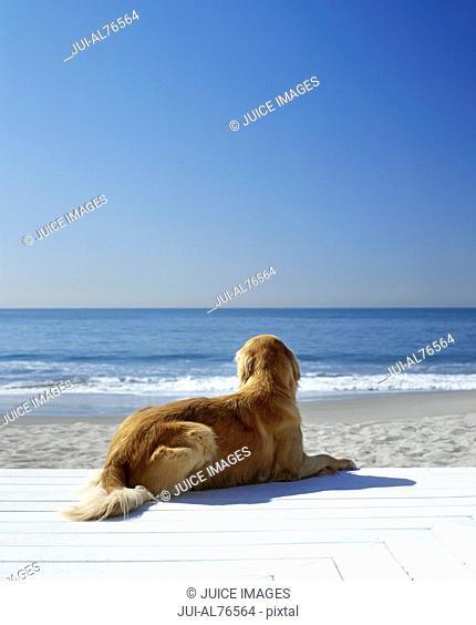 Portrait of a golden retriever resting on the beach